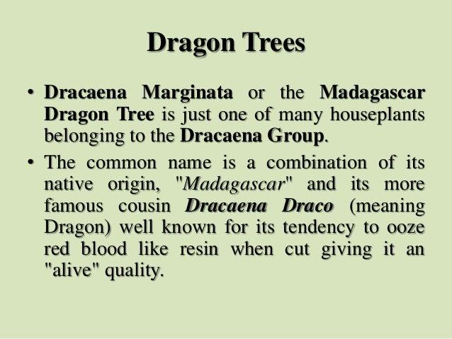 Dragon Trees • Dracaena Marginata or the Madagascar Dragon Tree is just one of many houseplants belonging to the Dracaena ...
