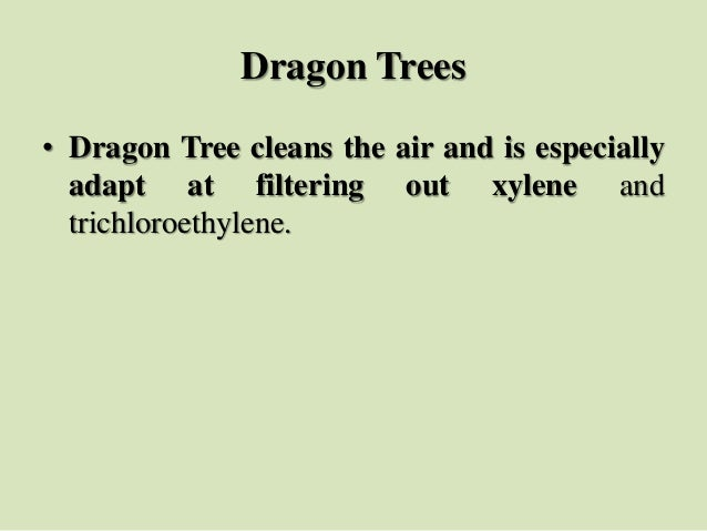 Dragon Trees • Dragon Tree cleans the air and is especially adapt at filtering out xylene and trichloroethylene.