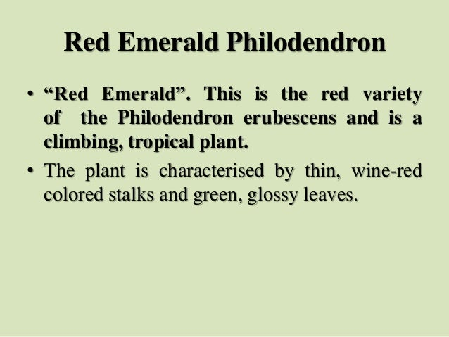 """Red Emerald Philodendron • """"Red Emerald"""". This is the red variety of the Philodendron erubescens and is a climbing, tropic..."""