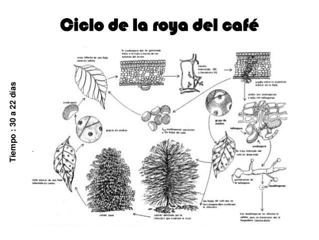 Control De La Roya Del Cafe