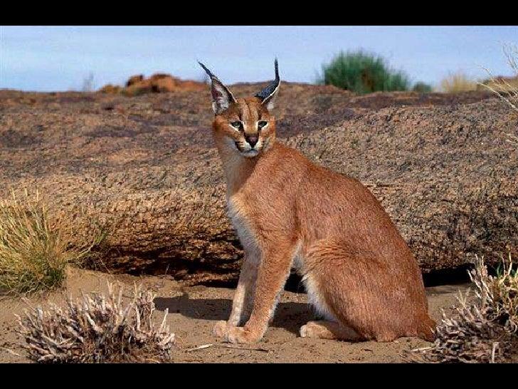 A Karakal The Desert Lynx