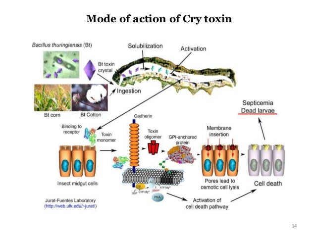 gm crops benefits and effects A meta analysis on farm-level costs and benefits of gm crops  we analyze the effects of gm-crops on crop  the review and meta-analysis presented here.