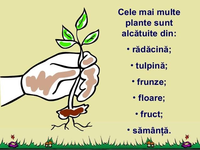 Alcatuirea Plante 638 Cb Frunza Radacina Tulpina Floare Exemple