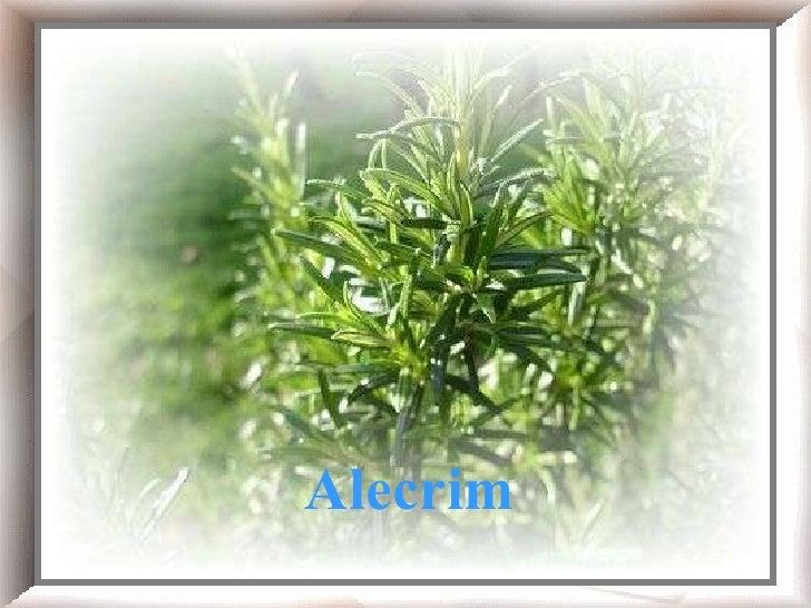 Chá de alecrim!    Alecrim Alecrim