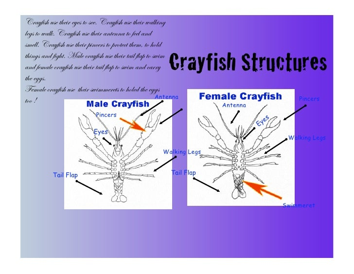 Crayfish use their eyes to see. Crayfish use their walking legs to walk. Crayfish use their antenna to feel and smell. Cra...