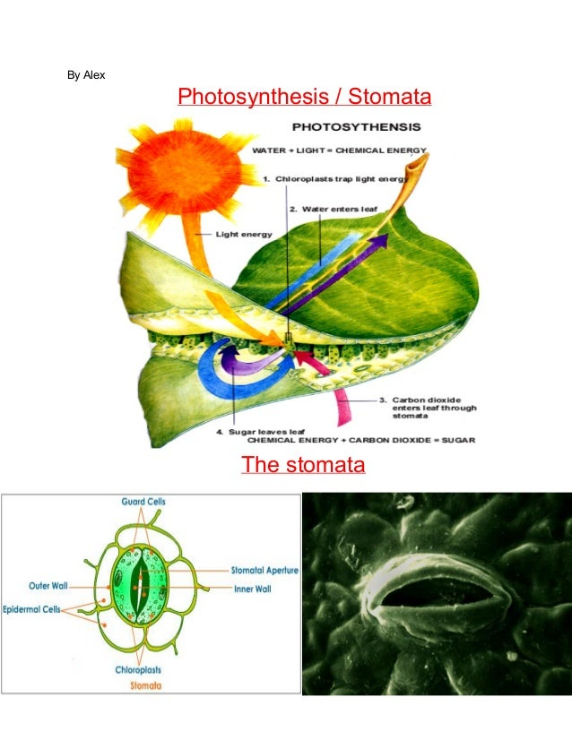 By Alex  Photosynthesis / Stomata  The stomata