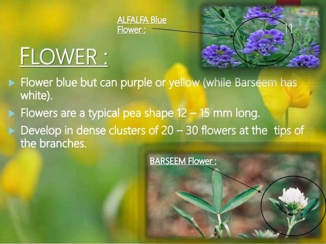 Alfalfa crop barseem flower alfalfa blue flower 11 11 mightylinksfo