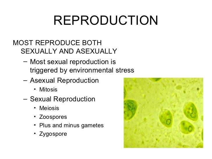 Does algae reproduce sexually or asexually