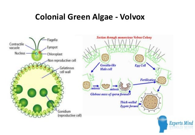 Chlorophyll diagram
