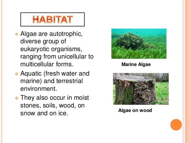 ALGAE (PLANT KINGDOM) Slide 2