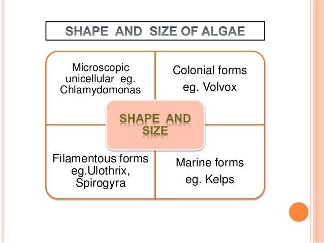ALGAE (PLANT KINGDOM) Slide 3