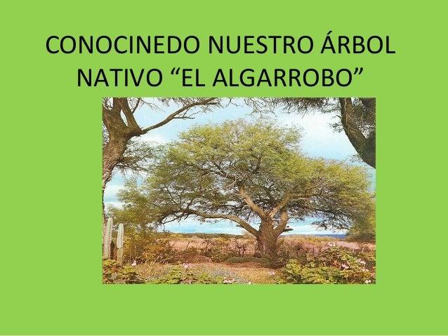 """CONOCINEDO NUESTRO ÁRBOL  NATIVO """"EL ALGARROBO"""""""