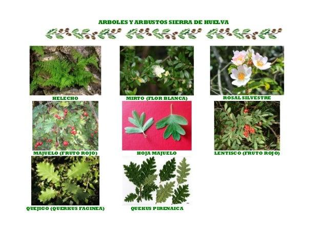 Ficha plantas sierra de huelva for Arboles con sus nombres y caracteristicas