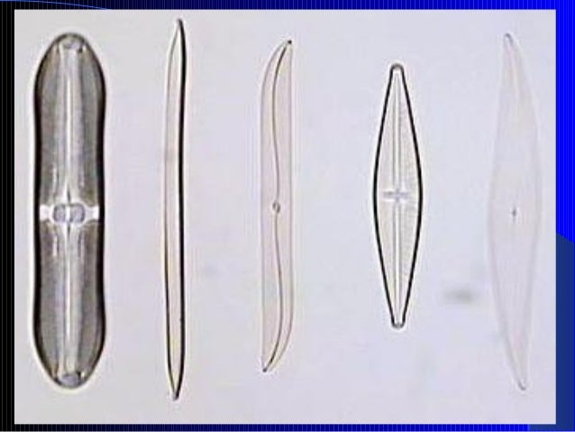 1.5. Filo Chlorophyta Clorofíceas ou algas verdes.  khloros = verde, phykos = alga Uni ou pluricelulares Marinhas, dulc...