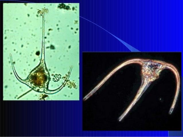 1.7. Filo Phaeophyta Feofíceas ou algas pardas. Pluricelulares podendo atingir 60m de comprimento Apresentam rizóide, cau...