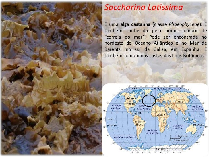 """Saccharina LatissimaÉ uma alga castanha (classe Phaeophyceae). Étambém conhecida pelo nome comum de""""correia do mar"""". Pode ..."""