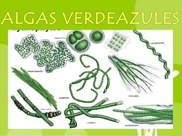 Las algas verdeazules ocianofitas son organismosacuáticos, marinos ocontinentales y algunasespecies pueden encontrarsetamb...