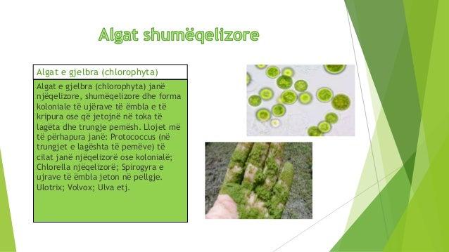Algat E Murrme Phaeophyta