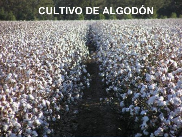 CULTIVO DE ALGODÓN