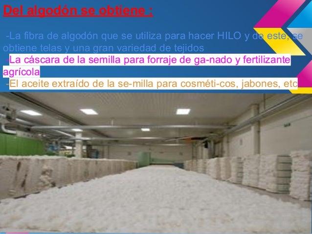 Generalmente contratan a mujeres para recoger lacosecha ya que la planta de algodón es muydelicada.Les pagan por la cantid...