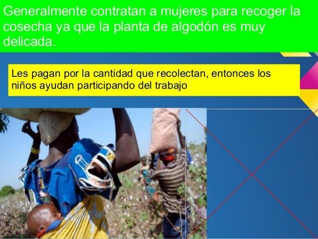 Fue diseñado para :- Ser tolerante a los herbicidas- Resistente a los insectos- Reducir el uso de pesticidas- Incorporar e...
