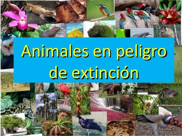 • Es ungénero demamíferos carnívoros • El lince ibérico es el felino más amenazado del planeta • La población del linc...
