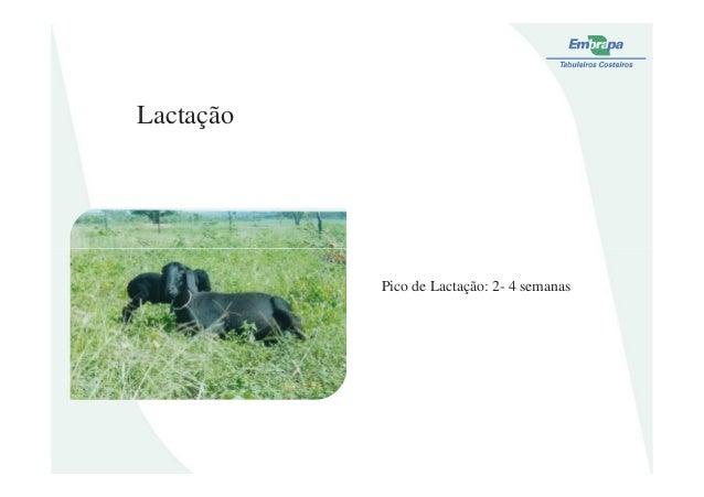 LactaçãoPico de Lactação: 2- 4 semanas