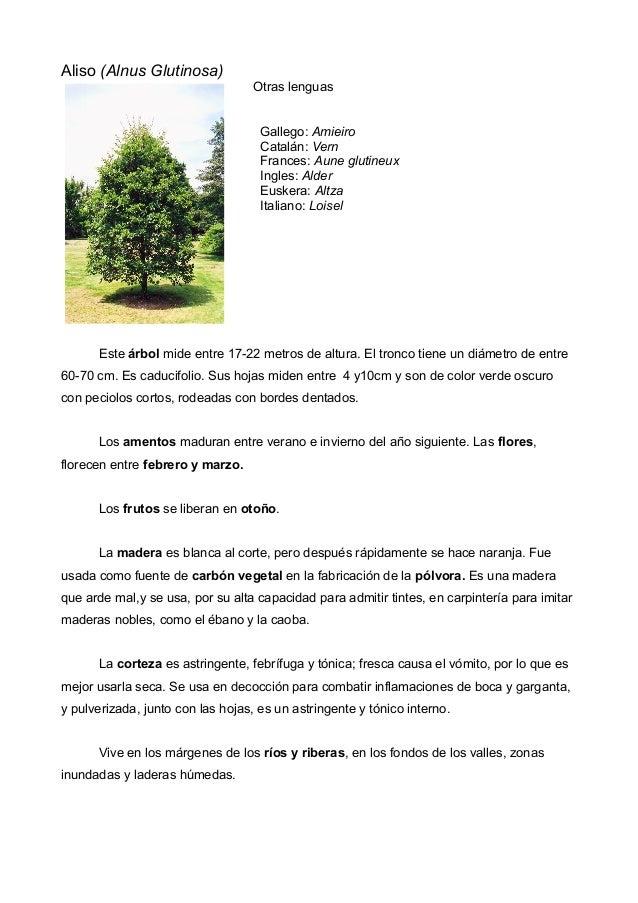 Aliso (Alnus Glutinosa) Otras lenguas Gallego: Amieiro Catalán: Vern Frances: Aune glutineux Ingles: Alder Euskera: Altza ...