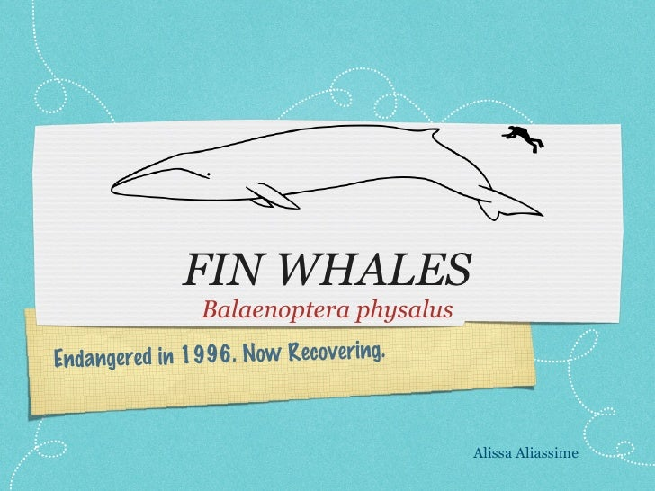 FIN WHALES <ul><li>Balaenoptera physalus </li></ul>Endangered in 1996. Now Recovering. Alissa Aliassime