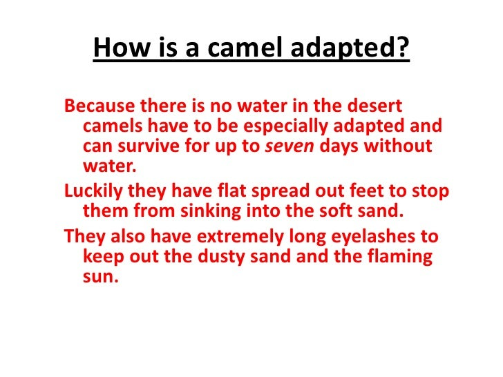 All About A Camel In A Desert