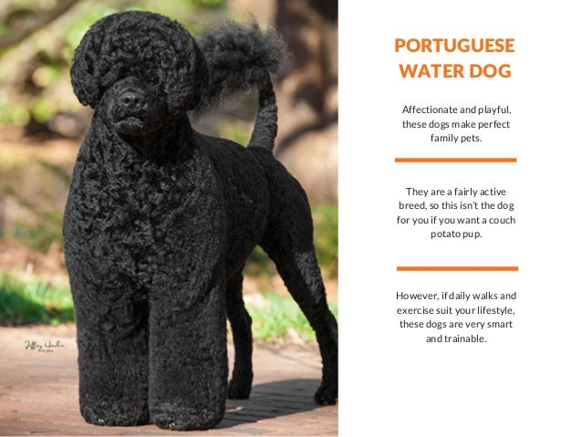 PORTUGUESE WATER DOG Affectionate and playful, these dogs make perfect family pets. They are a fairly active breed, so thi...