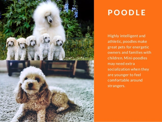 Highly intelligent and athletic, poodles make great pets for energetic owners and families with children. Mini-poodles may...