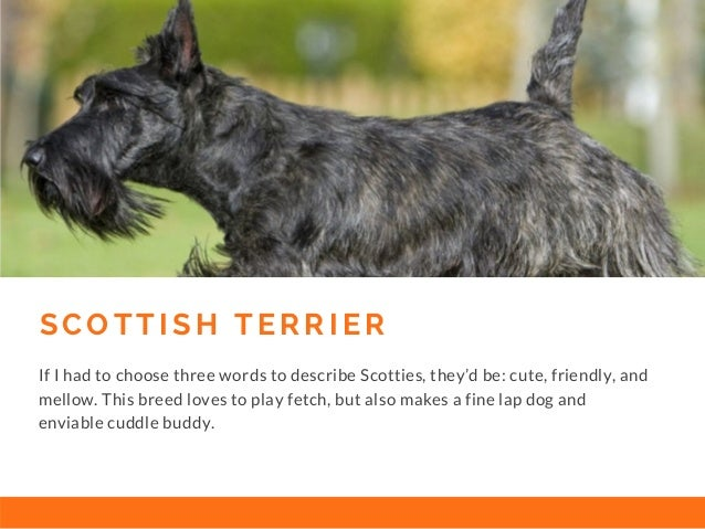 S C O T T I S H T E R R I E R If I had to choose three words to describe Scotties, they'd be: cute, friendly, and mellow. ...