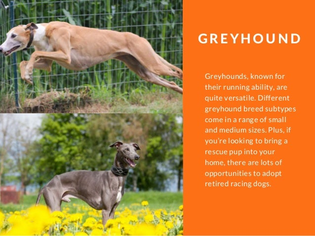 Greyhounds, known for their running ability, are quite versatile. Different greyhound breed subtypes come in a range of sm...