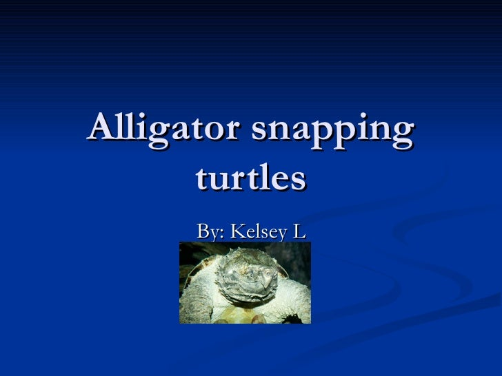 Alligator snapping turtles By: Kelsey L