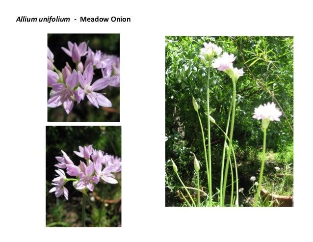 Allium unifolium - Meadow Onion