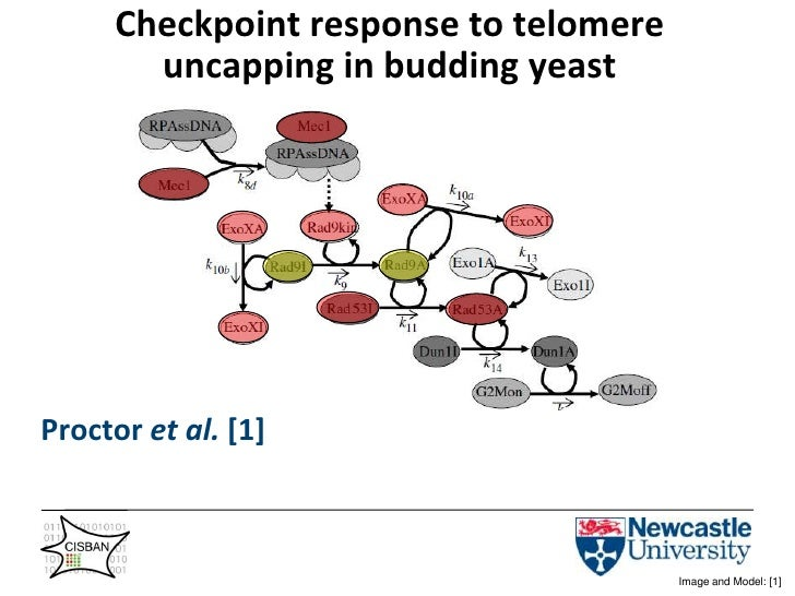 Checkpoint response to telomere uncapping in budding yeast<br />Proctor et al. [1]<br />Image and Model: [1]<br />