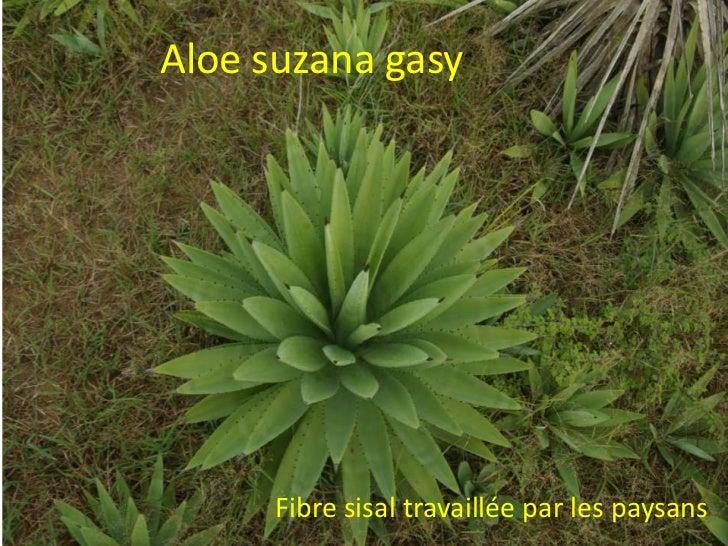 Aloe suzana gasy      Fibre sisal travaillée par les paysans