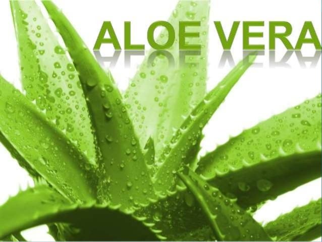 WHAT IS ALOE VERA?  ALOE VERA is an important stemless or very short- stemmed plant growing to 60–100 cm (24–39 in) tall,...