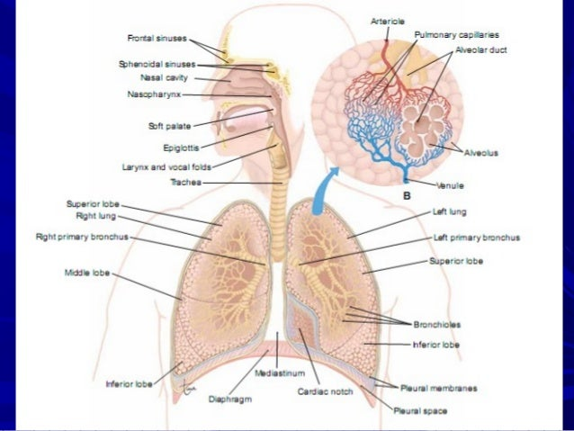 Upper And Lower Of Respiratory System
