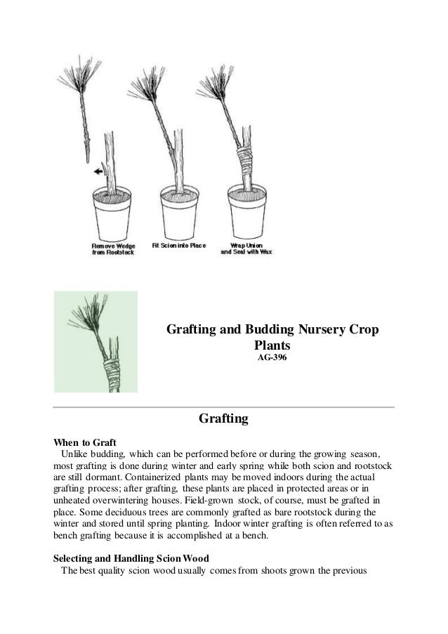 Grafting and Budding Nursery Crop Plants AG-396 Grafting When to Graft Unlike budding, which can be performed before or du...