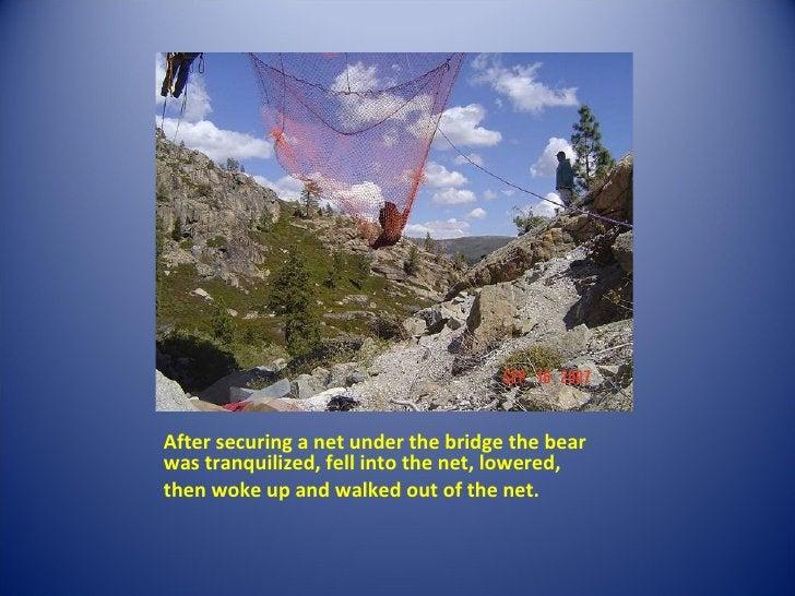 <ul><li>After securing a net under the bridge the bear was tranquilized, fell into the net, lowered,  </li></ul><ul><li>th...