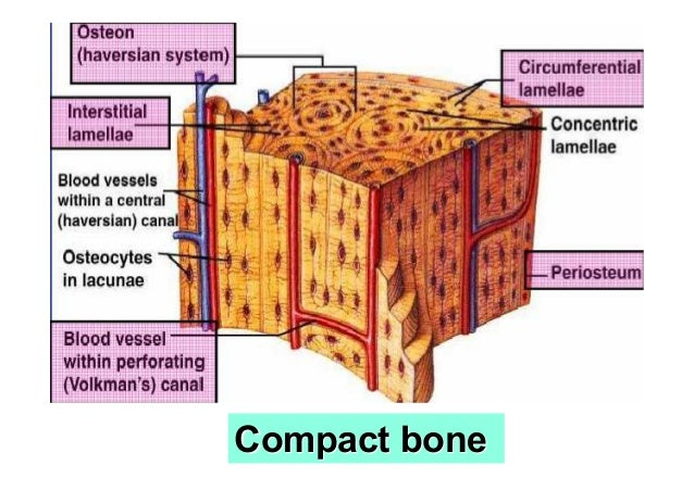 lamellar bone diagram lacrimal bone diagram alveolar bone