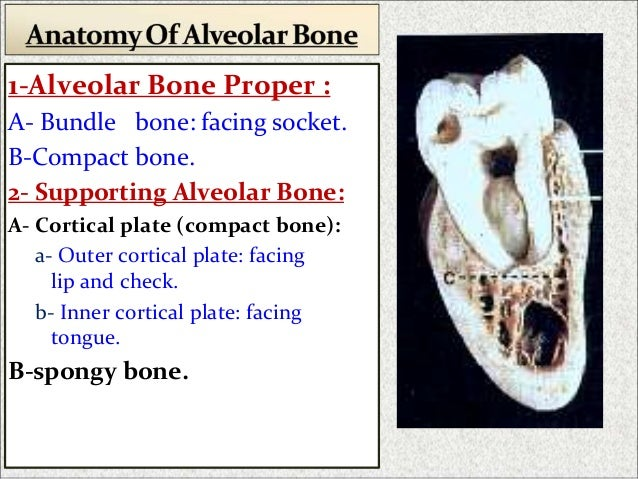 alveolar bone dr sherif hassan