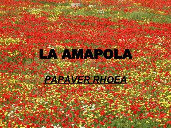 LA AMAPOLA PAPAVER RHOEA