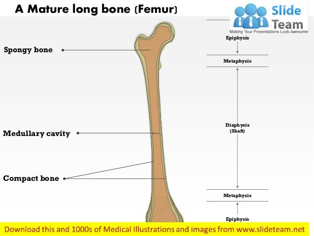 wrist bone diagram proximal epiphysis long bone diagram a mature long bone medical images for powerpoint