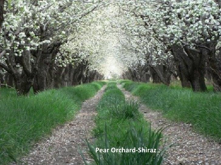 Pear Orchard-Shiraz