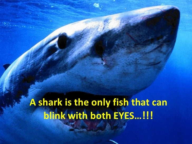 A shark is the only fish that can blink with both EYES…!!!<br />