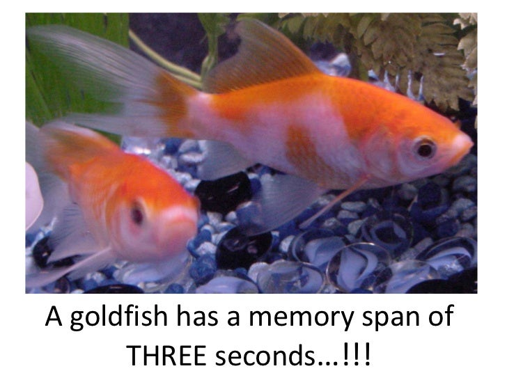 A goldfish has a memory span of THREE seconds…!!!<br />