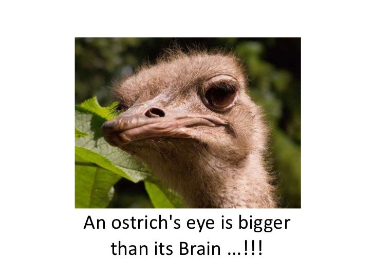 An ostrich's eye is bigger than its Brain …!!!<br />